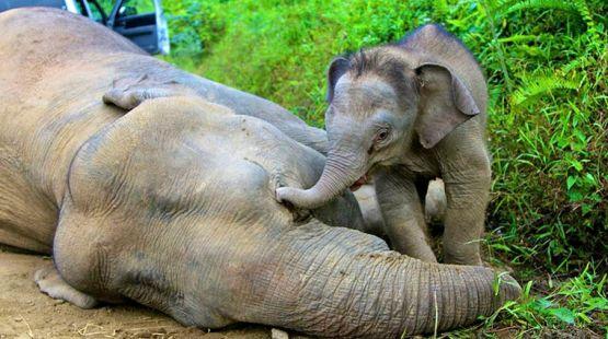 Sabah, Malaysia - pygmy elephants