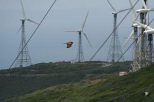 milano negro sorteando cables y molinos en Tarifa
