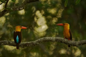 Brown-winged kingfishers - Bangladesh mangrove