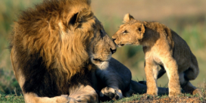Lions - Avaaz petition