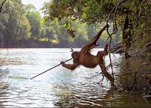 orangutan-spear