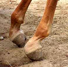 LFN deformity on foal