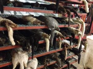 dead minks at Danish wind farm