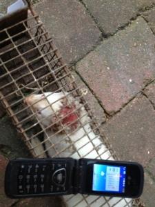 mink injured in a fight