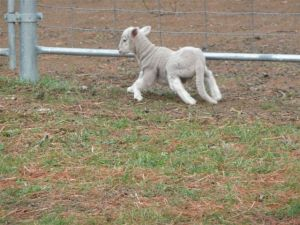 deformed lamb from Australia