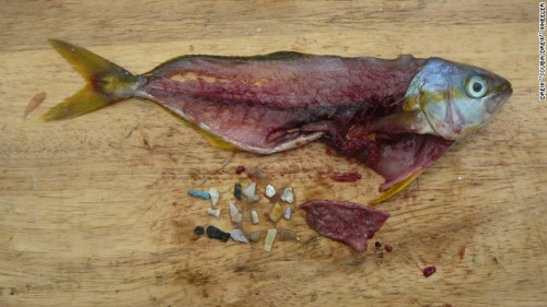 Plastic bits found in fish