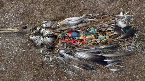 Sea bird killed by ingested trash 2