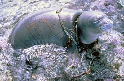 seal-tangled-in-chains-and-rope-from-garbage-in-the-ocean