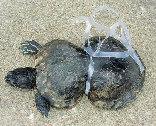 Young turtle victim of plastic